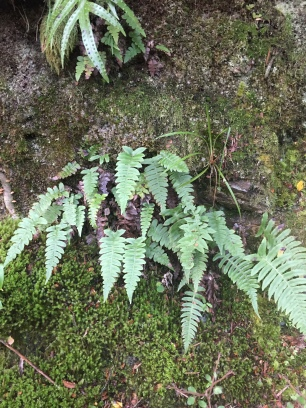 Fern, probably young foliage of kiokio