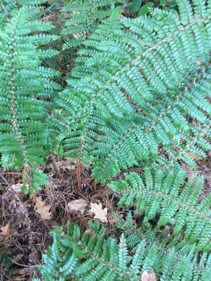 Fern, unknown species, Polystichum vestitum possibly