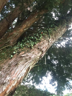 One of two very large Two totara trees which are several hundred years old. Leather leaf fern perches on limb, Pyrosia eleagnifolia