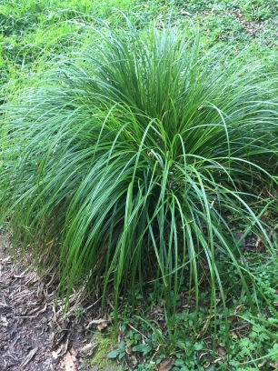 Carex species