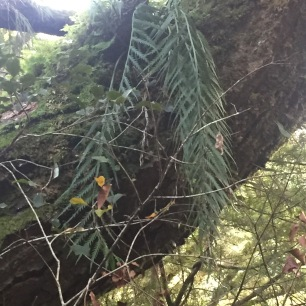 Asplenium flaccidum, hanging spleenwort on Beech tree